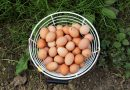 Fresh eggs from our hens